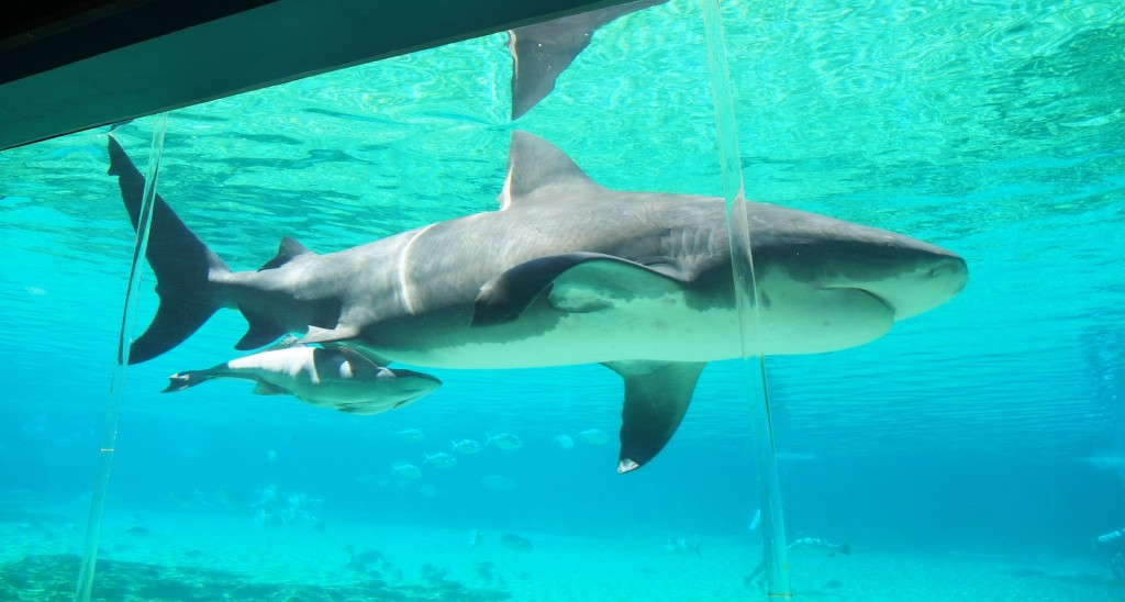 Shark with its young.