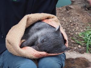 Sleeping young wombat.