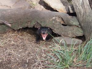 Yawning devil.