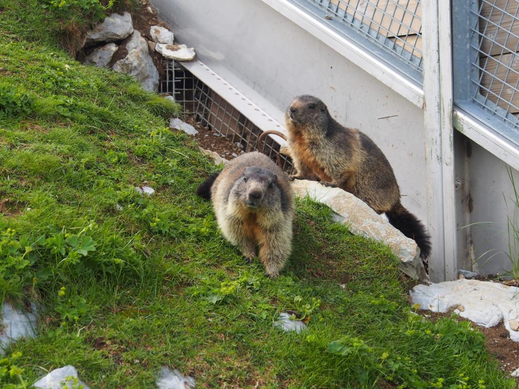 Marmotes.