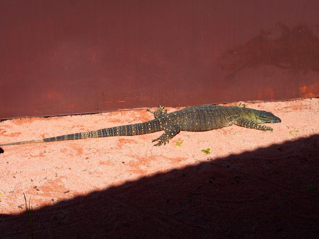 Large lizard.
