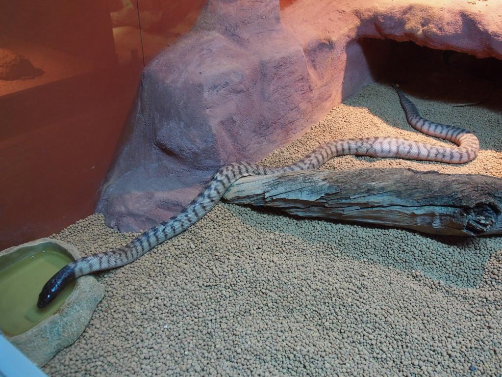 Snake drinking water.