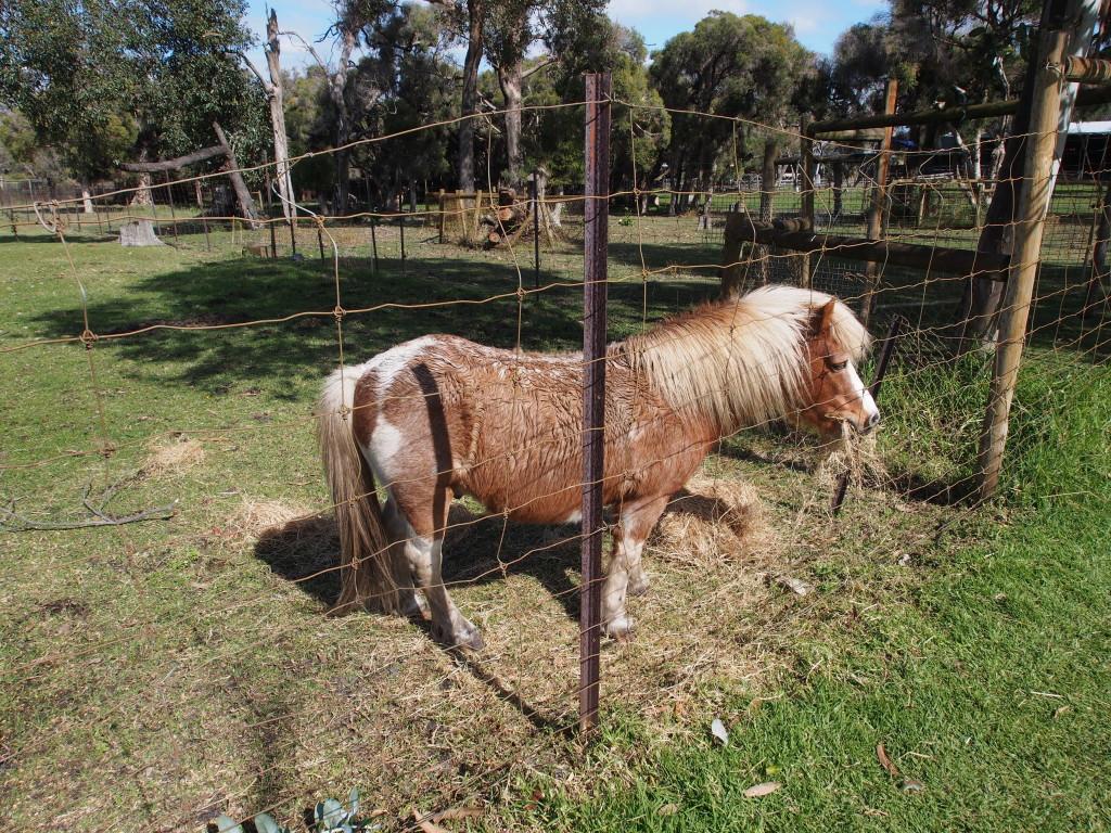 Pony.