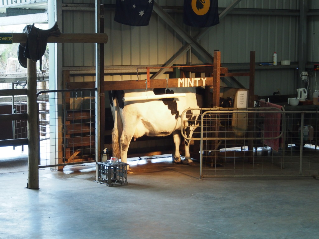 Milking cow.