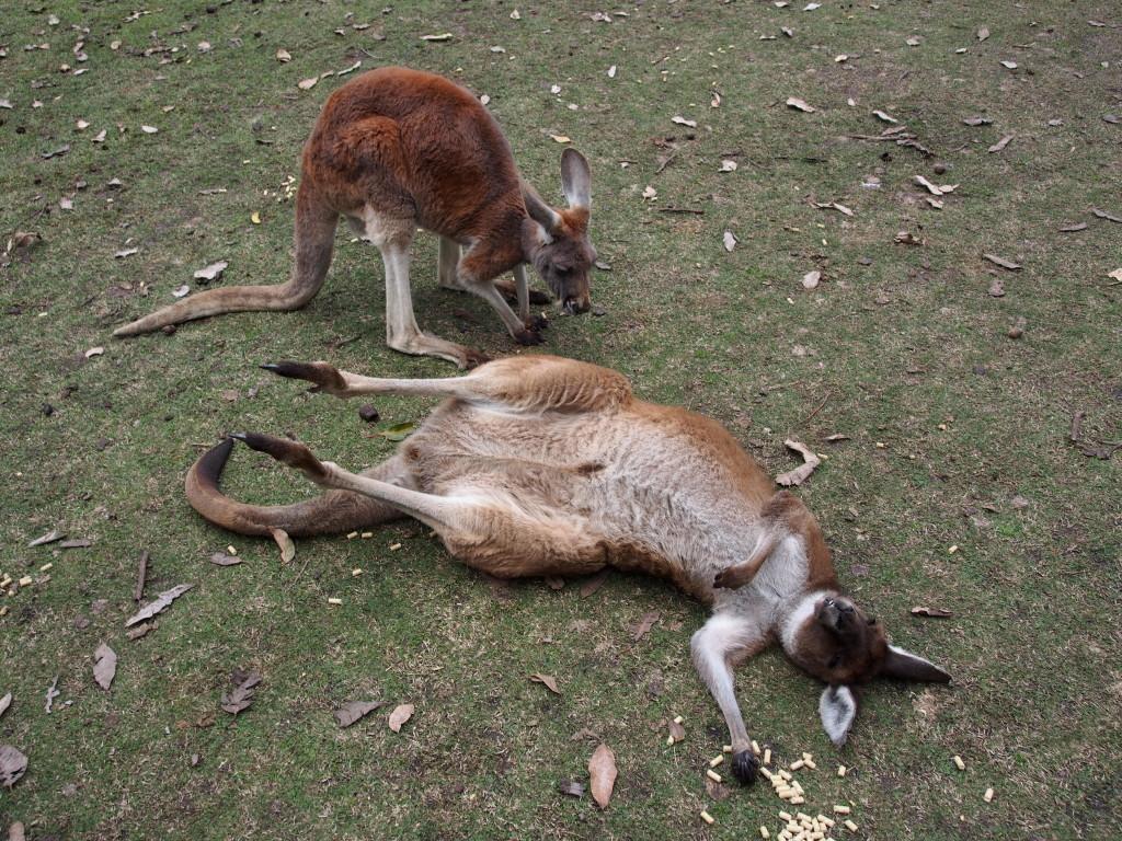 Knocked out kangeroo.