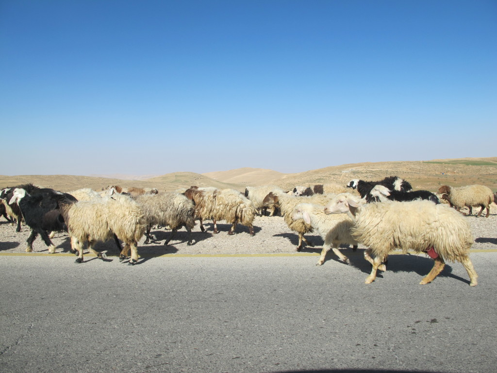 Cattle taking the road as we drove alongside towards Wadi Rum.