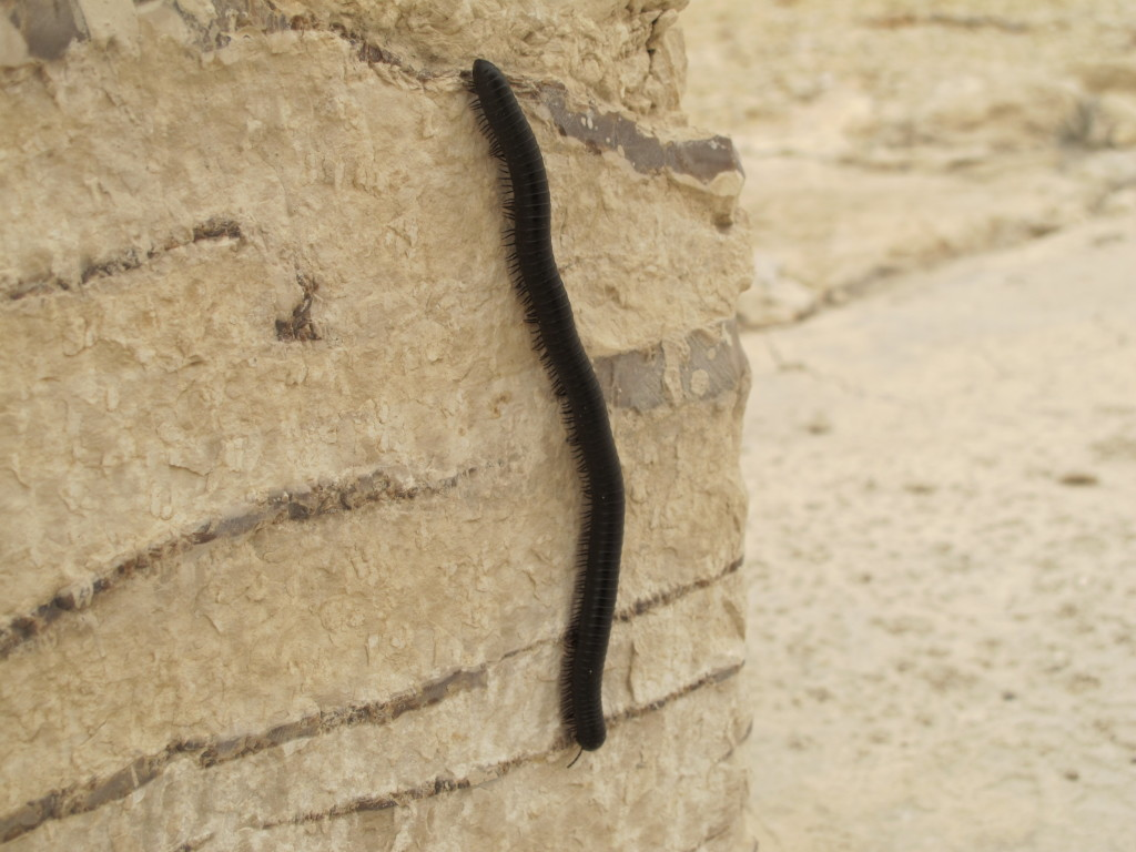 Overran by huge millipedes.