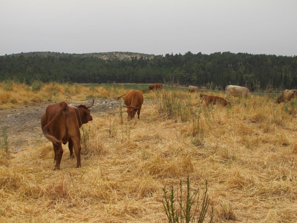 Cows were all around.